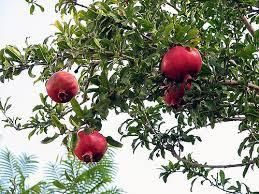 148 pomegranate tree