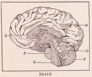 "Brain picture via Wikimedia. This illustration is from ""The Home and School Reference Work, Volume I"" by The Home and School Education Society, H. M. Dixon, President and Managing Editor. The book was published in 1917 by The Home and School Education Society. This illustration of the parts of the Brain can be found on page 368. The parts are A. Cerebrum; B. Corpus Callosum; C: Medulla Oblongata; D. Arbor-Vitae; E: Cerebellum, F: Pons Varolii"