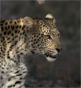 Leopard by Peter Thomas, July 2013 via WikiCommons