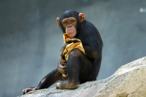 Photo: Chimp at Los Angeles zoo, by Aaron Logan - from http://www.lightmatter.net/gallery/Animals/chimp