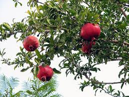148 pomegranate tree