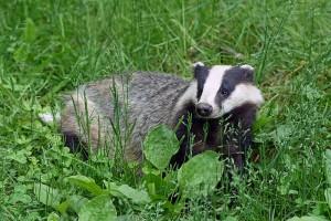 European Badger by Kallerna via wikicommons