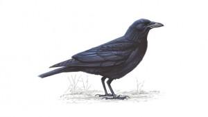 222 crow rspb