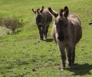 Dartmoor Donkeys