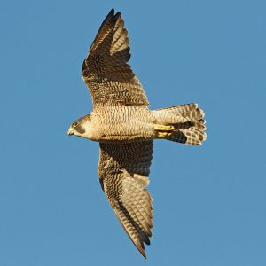 Peregrine Falcon by Juan Lacruz, (August 2012) via WikiCommons