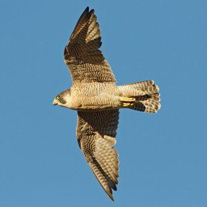 Peregrine Falcon by Juan Lacruz, (August 2012) via WikiCommons