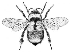 Orange banded Bumblebee (1894) Popular Science Monthly vol 45 via WikiCommons