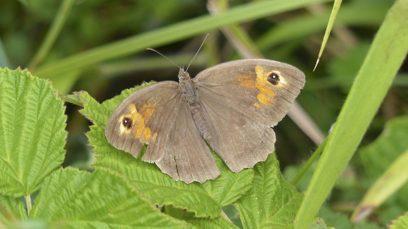 Meadow Brown Butterfly, by Ian Kirk, Dorset (August 2013) via WikiCommons